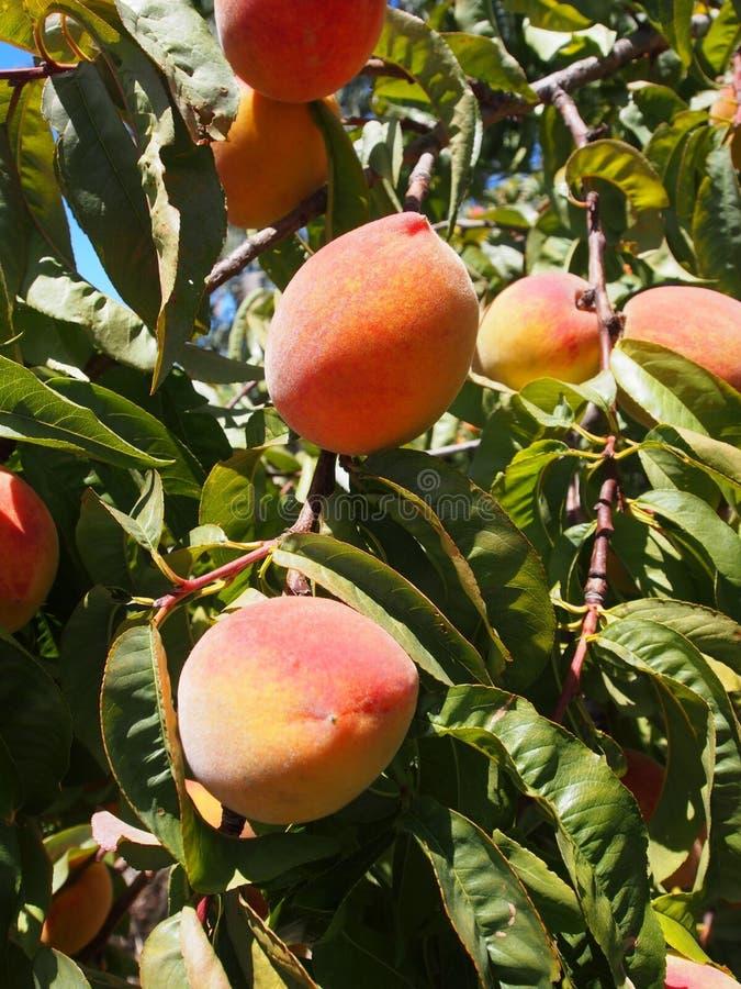 Fruit, Peach, Fruit Tree, Produce stock photography
