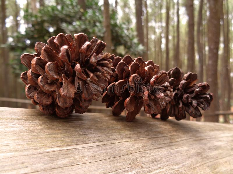 Fruit pine in the forest royalty free stock photography