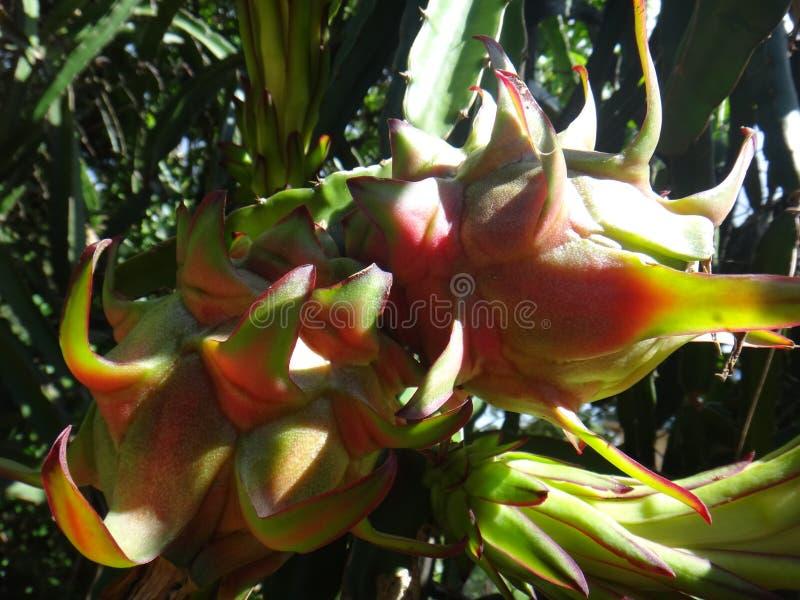 Fruit of pitahaya. Belle of the night, bight-blooming cactus, cactus fruit, dragon fruit, Jesus in the cradle, night blooming cereus, pitahaya, pitaya or royalty free stock photos