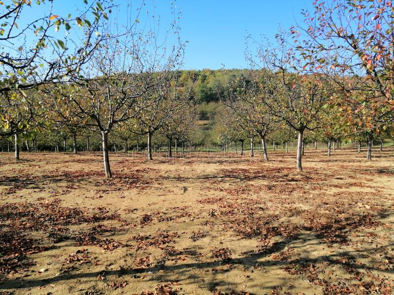 Fruit plum trees. Picture of plum fruit trees in fall stock photography