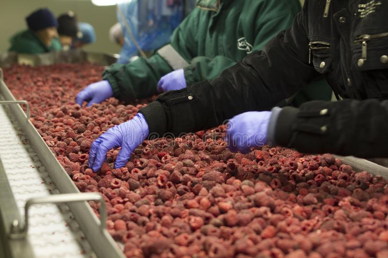 Fruit processing plant, in the cold, frozen raspberries. Hands of people sorting raspberries, gloved hands royalty free stock images