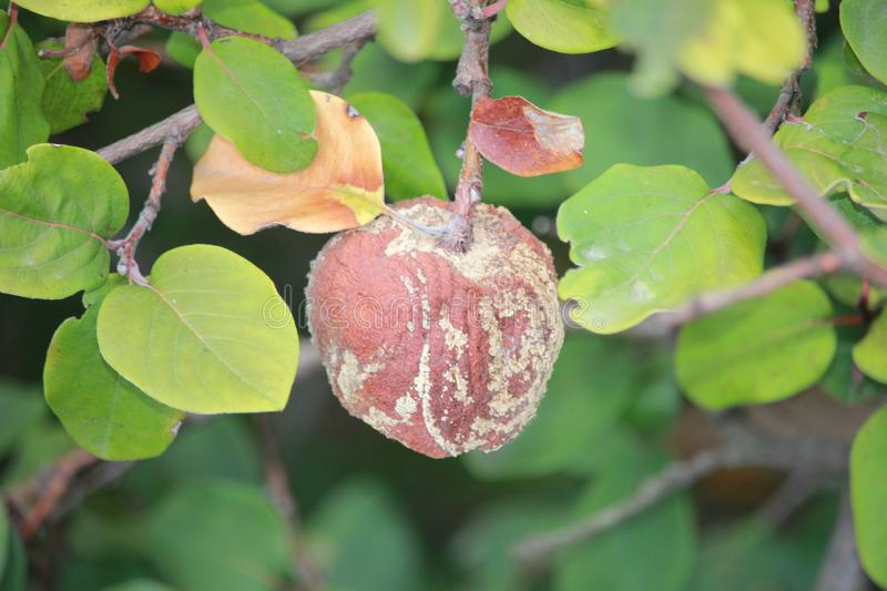Ill quince, the fruit of quince. monily stock image