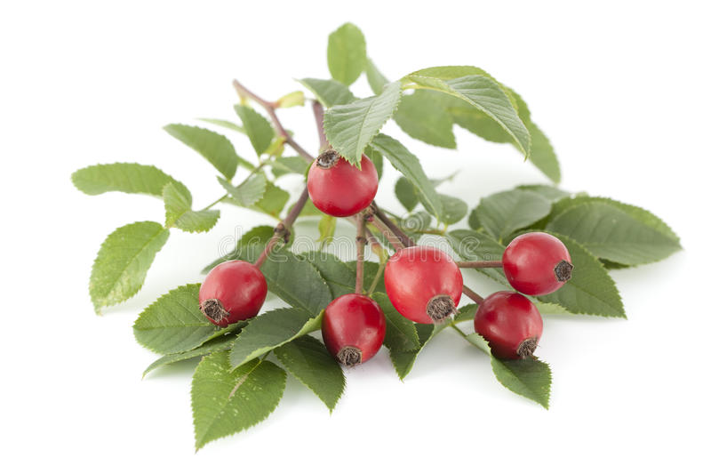 Download Fruit rose stock photo. Image of briar, wild, rosa, rose - 26812844