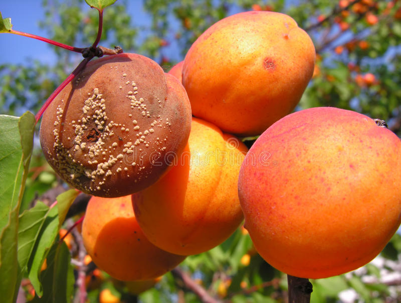 Download Fruit rot stock image. Image of fruit, orange, agriculture - 15696795