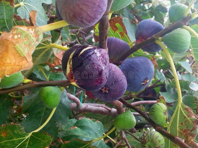 Fruit satisfaction, fig tree sweet fruit sea treat, figs before picking stock photography