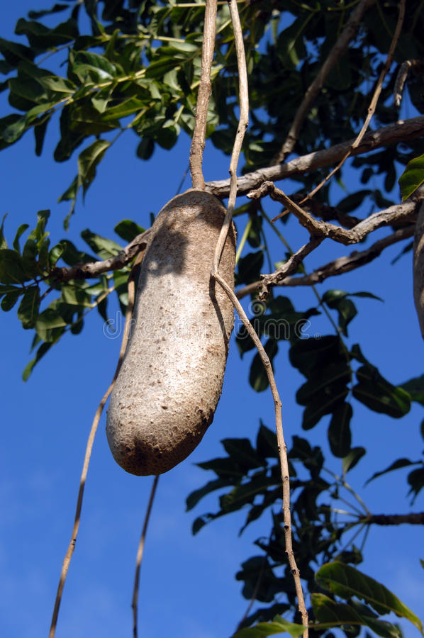 Download Fruit of Sausage Tree stock photo. Image of hanging, tropical - 19840532