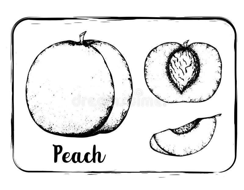 Fruit sketch black and white fruit sketch hand drawing isolated stock image