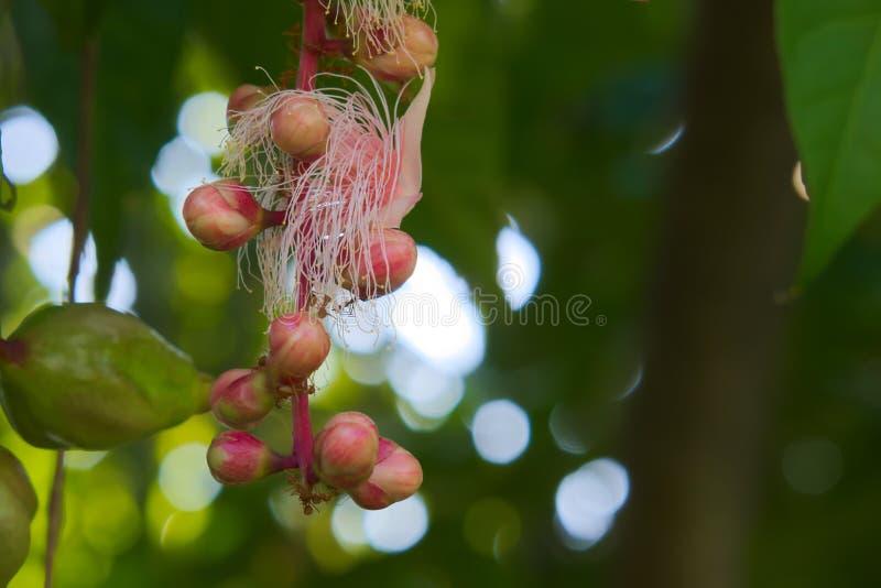 Fruit thaïlandais de vert et de rose avec les fourmis rouges travaillant dur pour recueillir son nectar, à un bel arrière-plan ve images libres de droits