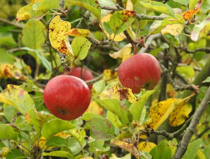 Fruit, Fruit Tree, Apple, Plant royalty free stock photography