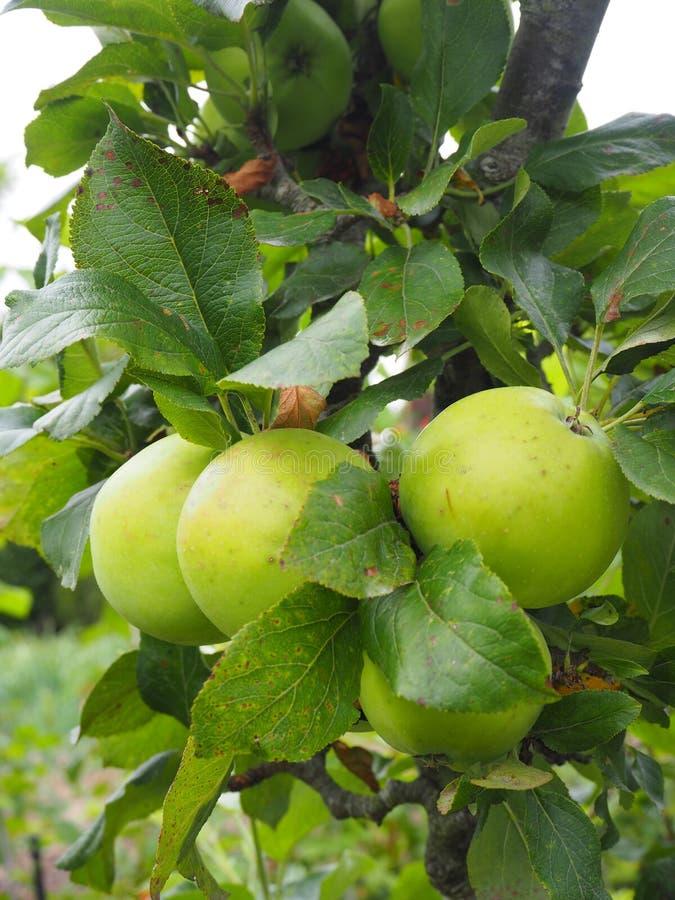 Fruit, Fruit Tree, Apple, Plant royalty free stock image