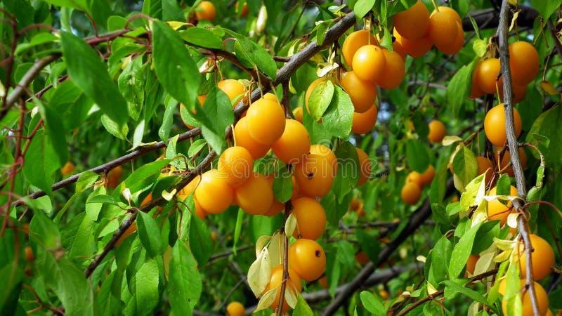 Fruit Tree, Fruit, Apricot, Citrus stock images