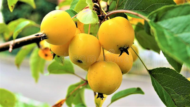 Fruit, Fruit Tree, Apricot, Loquat royalty free stock photography