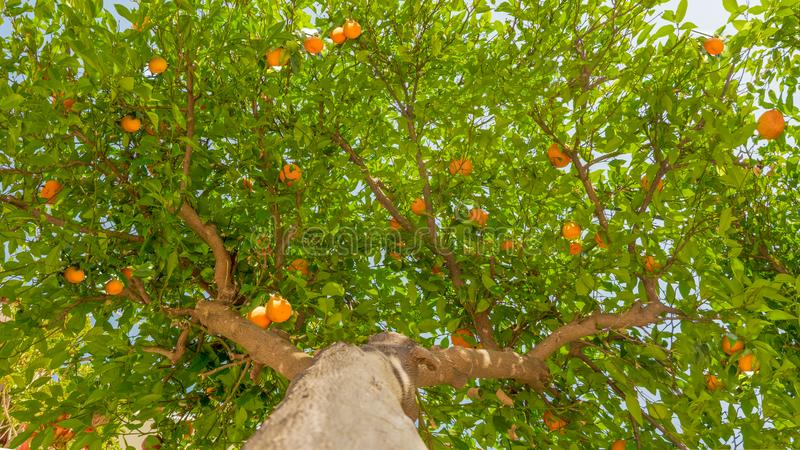 Fruit tree background. Tangerine tree background. Green leaves and ripe fruits on the tree. Harvesting concept. Green royalty free stock image
