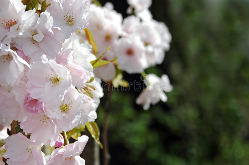 Fruit Tree Blossom Stock Photo