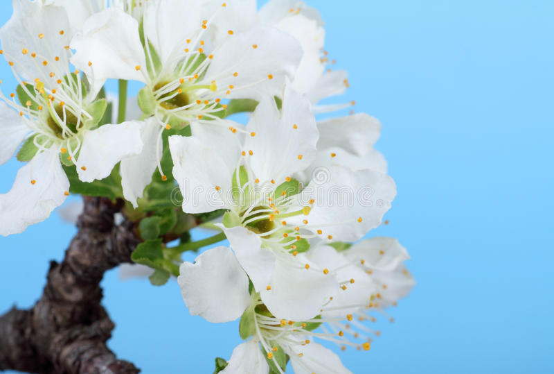 Fruit Tree Blossoms Stock Photos