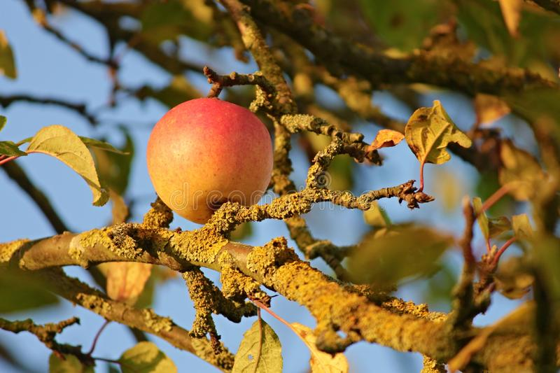 Fruit Tree, Fruit, Branch, Tree royalty free stock images