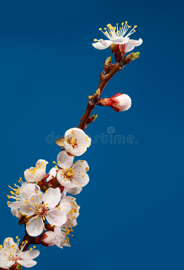 Download Fruit tree brunch blossom stock photo. Image of pink - 20147358