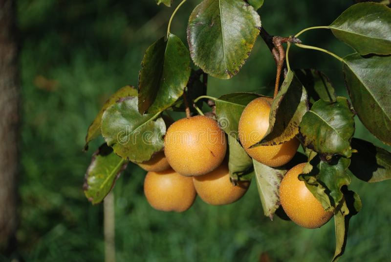 Fruit Tree, Fruit, Citrus, Diospyros stock image