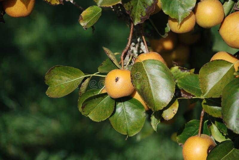 Fruit Tree, Fruit, Citrus, Leaf royalty free stock photography