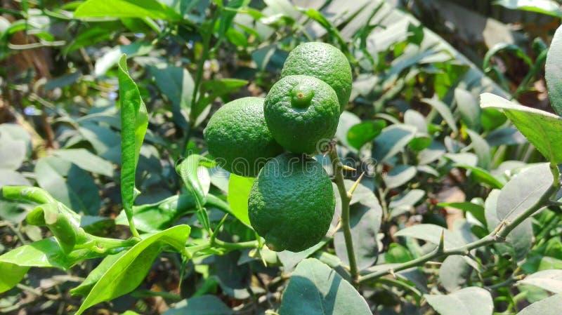 Fruit Tree, Fruit, Citrus, Plant royalty free stock photo