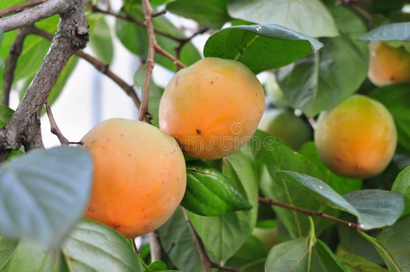 Fruit Tree, Fruit, Diospyros, Persimmon royalty free stock image