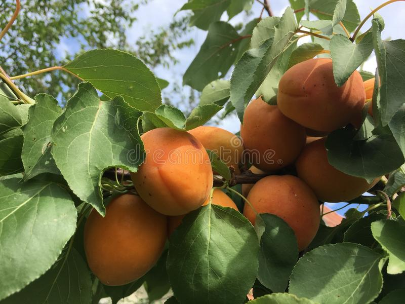 Fruit Tree, Fruit, Diospyros, Produce stock photography