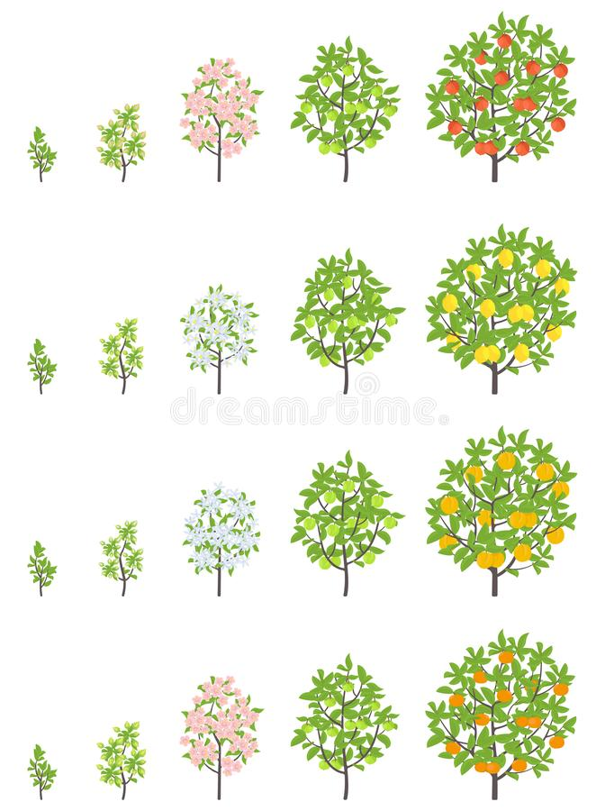 Fruit tree growth stages. Apple, peach and lemon mandarin increase phases. Vector illustration. Ripening progression. Fruit trees. Life cycle animation plant royalty free illustration