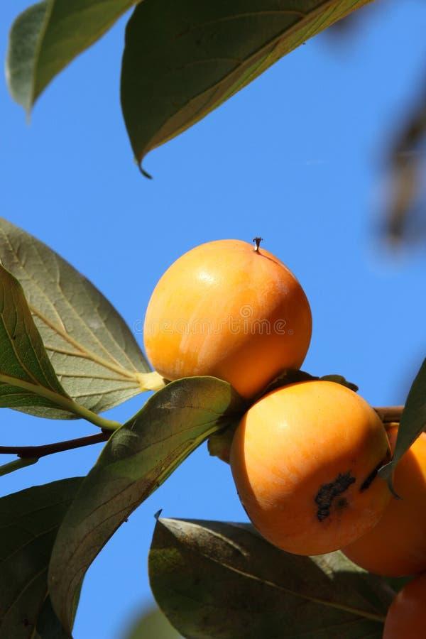 Fruit, Fruit Tree, Orange, Citrus stock photo