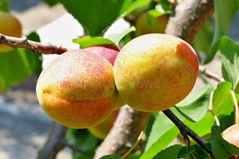 Fruit, Fruit Tree, Peach, Apricot stock photo