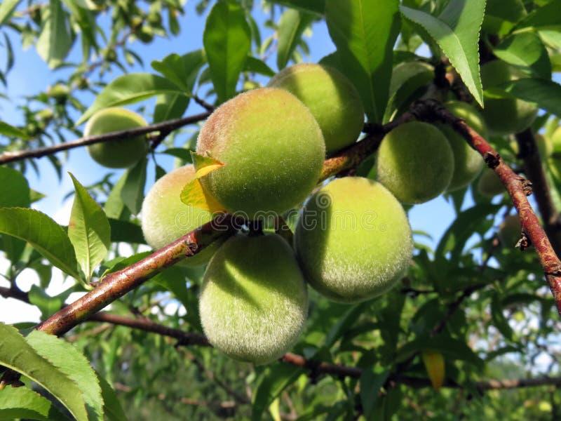 Fruit Tree, Fruit, Peach, Citrus royalty free stock photo