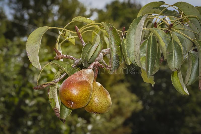 Fruit tree, pear conference, ripe ready to eat full of color and flavor royalty free stock photo