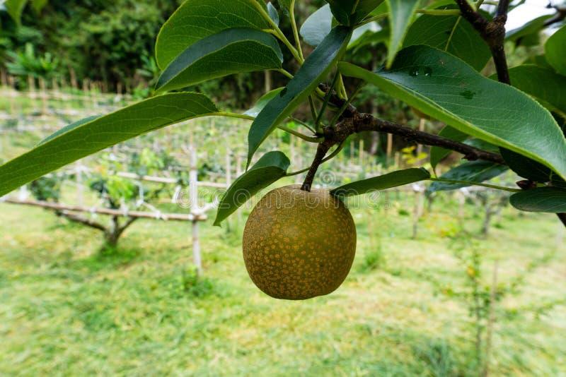 Fruit Tree, Fruit, Plant, Artocarpus royalty free stock images