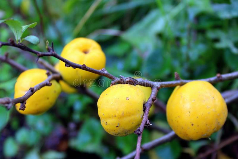 Fruit, Fruit Tree, Produce, Branch royalty free stock images
