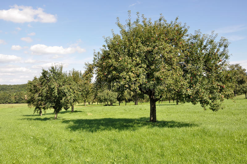 Fruit trees in field #1, baden. Organic fruit trees in a sunny summer day among meadows in baden, germany stock photography