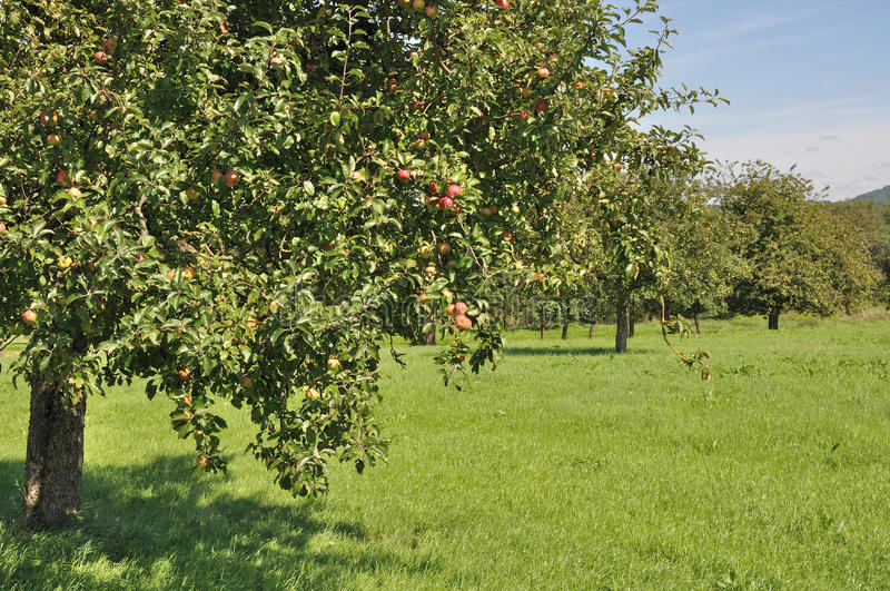 Fruit trees in field #2, baden. Organic fruit trees in a sunny summer day among meadows in baden, germany royalty free stock photos