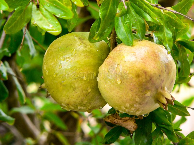Fruit trees. Punica granatum. Two unripe pomegranate fruits on his tree royalty free stock image