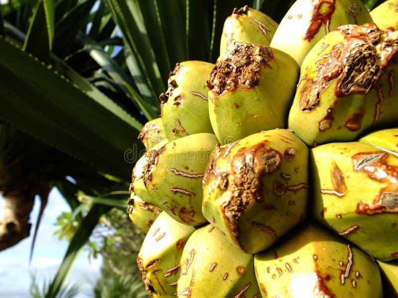 Fruit tropical de la feuille de rasoir images libres de droits