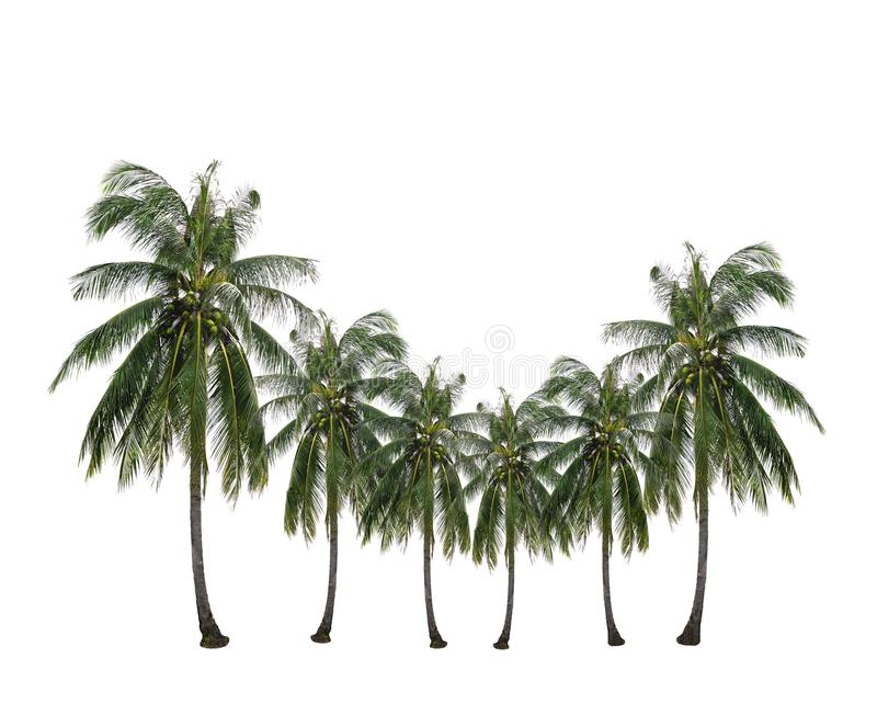 Fruit tropical, groupe de palmier de noix de coco d'isolement sur le fond blanc images libres de droits