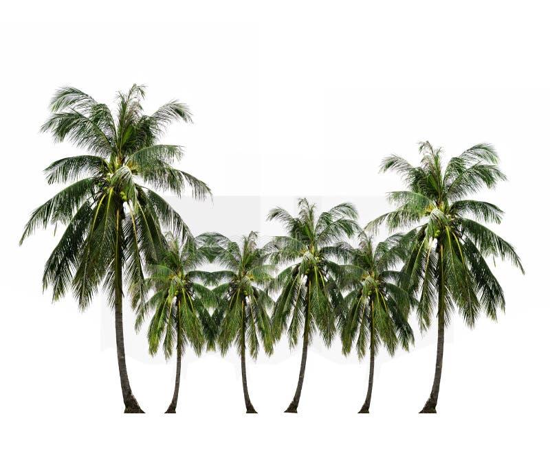 Fruit tropical, palmier de noix de coco d'isolement sur le blanc images libres de droits