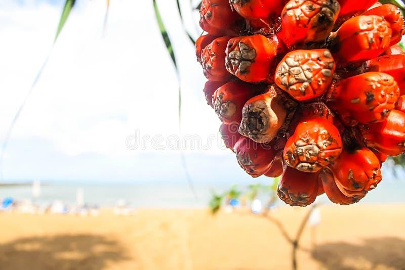 Fruit tropical savoureux parfumé juteux mûr d'odoratissimus de Pandanus photo stock