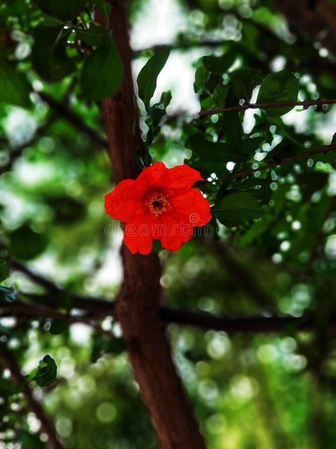 Pomegranate tree flower.  stock image