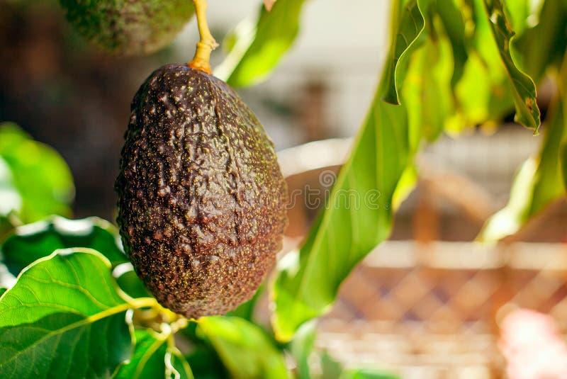 Fruit van avocado op de boom royalty-vrije stock foto