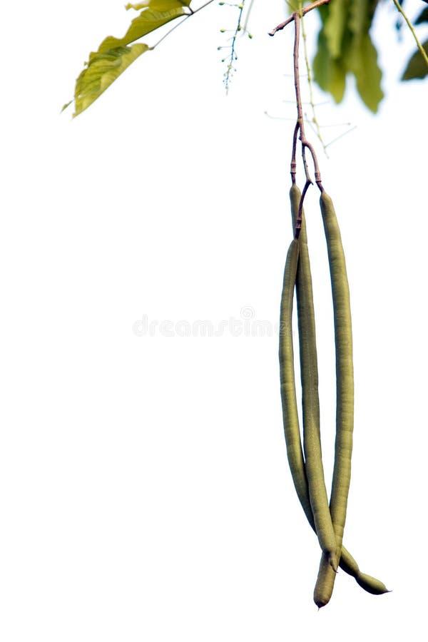 Fruit van de gouden doucheboom stock foto's