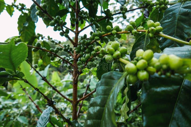 Fruit van de koffie in begintoestand stock fotografie