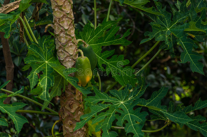 fruit van een palm royalty-vrije stock fotografie
