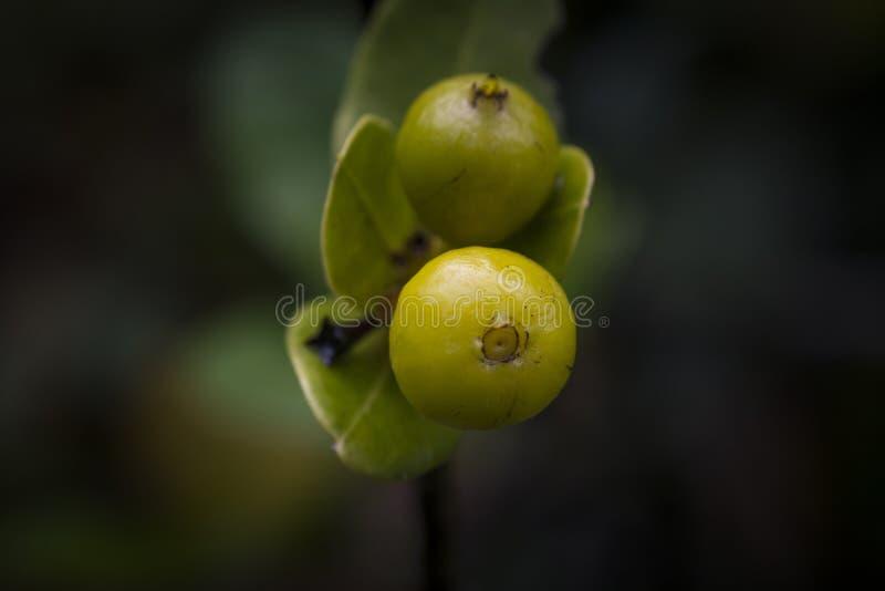 Fruit van Ixora-coccineainstallatie stock foto's