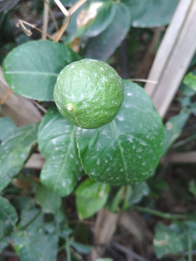 Fruit vert photos libres de droits