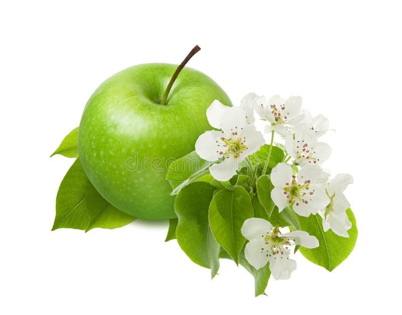 Fruit vert d'Apple avec la feuille et la fleur sur la branche d'isolement sur le fond blanc en tant qu'élément du design d'emba illustration stock
