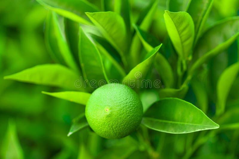 Fruit vert de la maturation orange sur une branche d'un arbre - Croatie, île Brac photos libres de droits