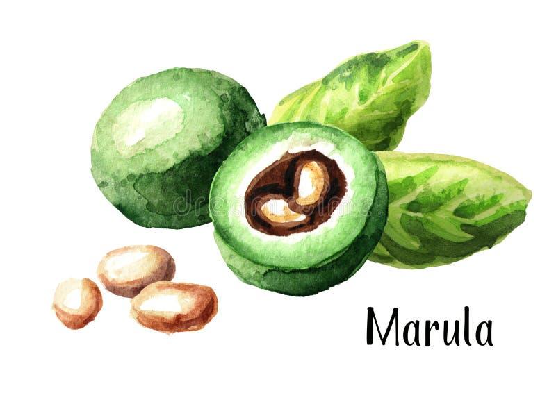Fruit vert de Marula avec des feuilles et des graines Illustration tirée par la main d'aquarelle d'isolement sur le fond blanc illustration de vecteur